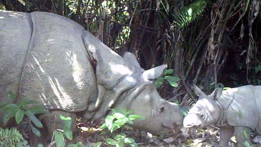 Foto: Java-Nashorn in Indonesien