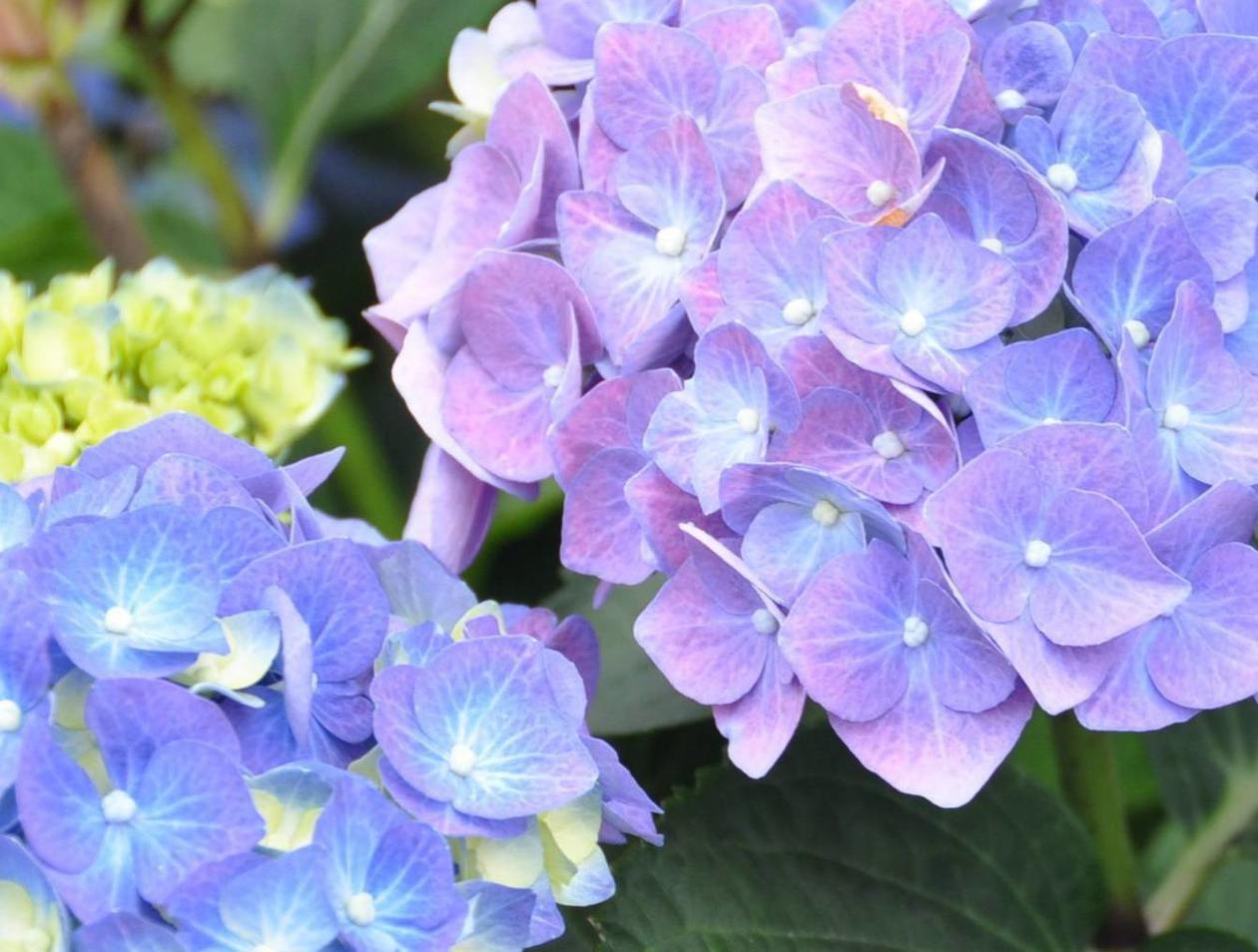 Gut bekannt Wie sich die Blüten von Hortensien haltbar machen lassen | Landkreis CI43