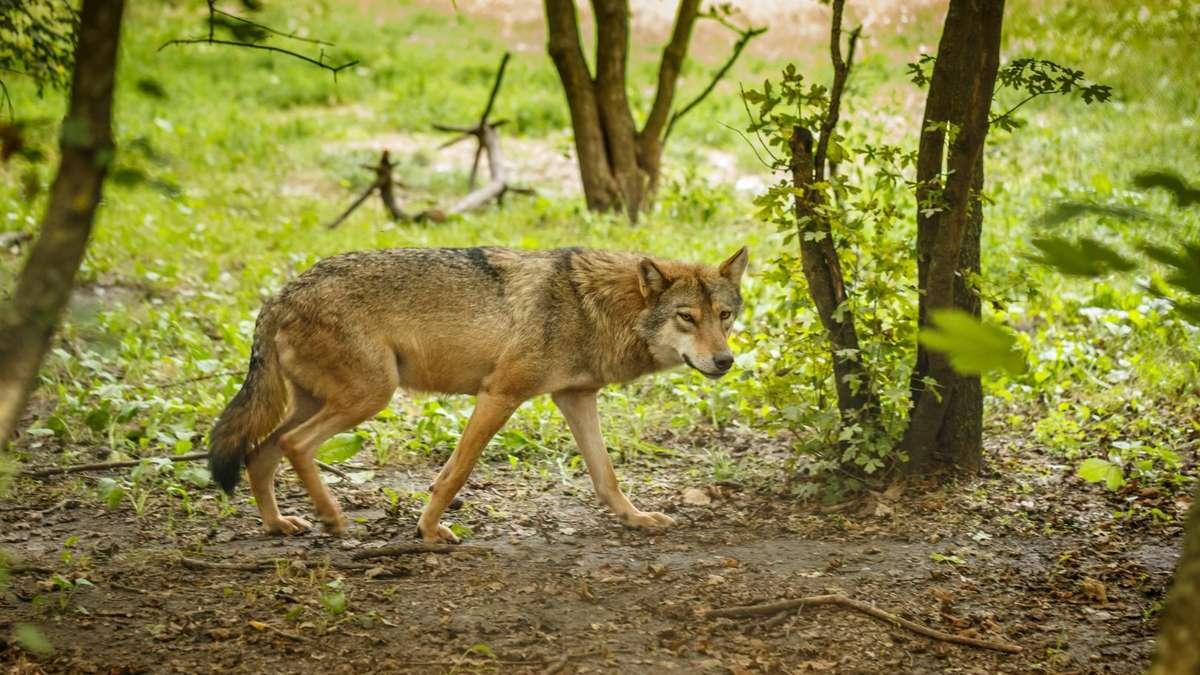 Spaziergänger berichten von zwei Wölfen im Wald am Edersee